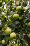 Яблоки на ветви Стоковые Изображения RF