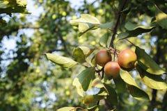 Яблоки на ветвях дерева с листьями стоковые фотографии rf