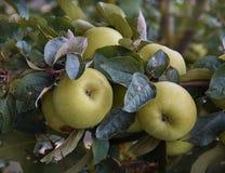 Яблоки на дереве в саде стоковое изображение rf