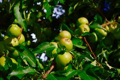 Яблоки на яблоне Стоковое Фото