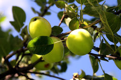 яблоки органические Стоковые Изображения RF