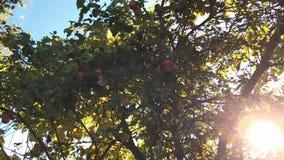 Яблоки осени на ветви дерева в саде Яблоня в вечере сток-видео