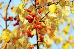 Яблоки рака среди листьев осени Стоковое Изображение