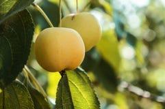Яблоки растут на ветви стоковые фото