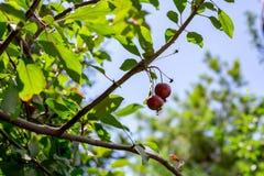 Яблоки рая растя на дереве уменьшите яблока Яркие красные яблоки Стоковое фото RF