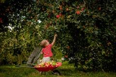 Яблоки рудоразборки ребенка на ферме Мальчик играя в саде яблони Оягнитесь плодоовощ выбора и положитесь их в тачку Eatin младенц стоковые фото