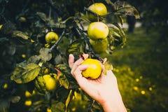 Яблоки рудоразборки руки сразу от дерева стоковые изображения rf