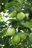 Яблоки Смита бабушки Стоковое Изображение RF