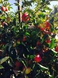 Яблоки смотреть прищурясь стоковое изображение