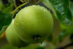 Яблоки с падениями дождя Стоковое фото RF