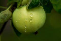 Яблоки с падениями дождя Стоковые Изображения RF