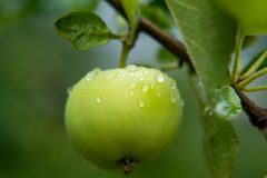Яблоки с падениями дождя Стоковая Фотография RF