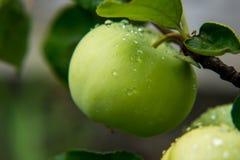 Яблоки с падениями дождя Стоковые Фотографии RF