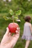 Яблоки 11 Стоковые Изображения RF