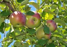 Яблоки Стоковое Фото
