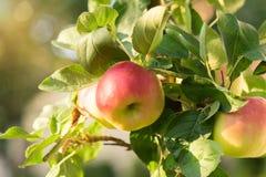 Яблоки Rippe в саде готовом для сборов Стоковые Изображения