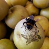 Яблоки Russet Egremont стоковое фото rf