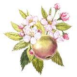 Яблоко акварели нарисованное рукой Иллюстрация плодоовощ еды Eco естественная Ботаническая иллюстрация изолированная на белой пре Стоковые Изображения RF