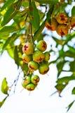 яблоко - вал зеленого цвета розовый Стоковые Изображения RF