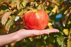 яблоко в наличии стоковые фотографии rf