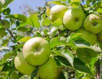 Яблоко в саде Стоковая Фотография RF