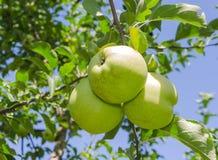 Яблоко в саде Стоковая Фотография