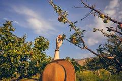 Яблоко женщины piking в саде Стоковое Фото