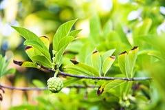 Яблоко заварного крема на ветви с зелеными листьями, свежий и природой Стоковое Изображение RF