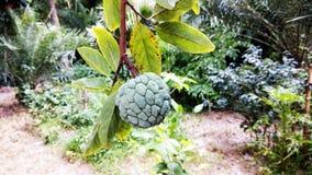 Яблоко заварного крема на дереве стоковые изображения rf