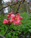 Яблоко зацветает пинк в саде Стоковая Фотография