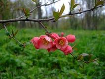 Яблоко зацветает пинк в саде Стоковое фото RF