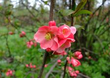 Яблоко зацветает розовый пук в саде Стоковая Фотография