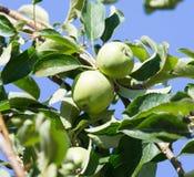 яблоко - зеленый вал Стоковые Фотографии RF