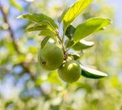 яблоко - зеленый вал Стоковые Изображения RF