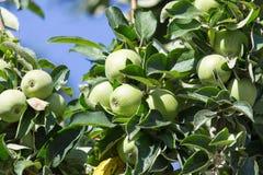 яблоко - зеленый вал Стоковое Фото