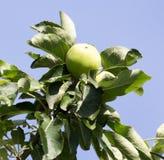 яблоко - зеленый вал Стоковое фото RF