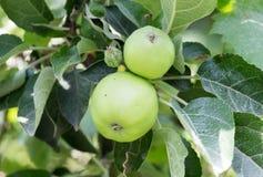 яблоко - зеленый вал Стоковая Фотография RF