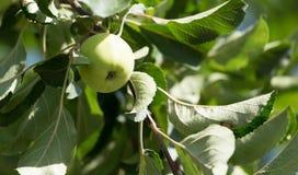 яблоко - зеленый вал Стоковая Фотография