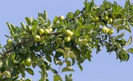 яблоко - зеленый вал Стоковые Фото