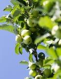 яблоко - зеленый вал Стоковое Изображение