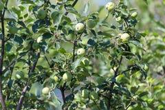 яблоко - зеленый вал Стоковое Изображение RF
