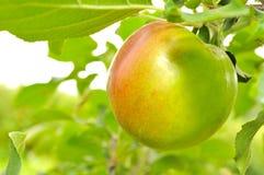 яблоко - зеленый растущий вал Стоковые Изображения