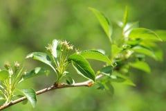 яблоко - зеленый цвет выходит вал Стоковые Фотографии RF