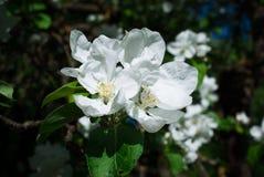 яблоко как предпосылка может используемые обои Blossoming яблоко, цветя яблоко Стоковое Изображение