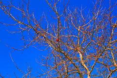 Яблоко на ветви в зиме против голубого неба Стоковая Фотография RF