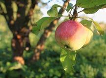 Яблоко на дереве Стоковые Изображения