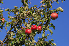 яблоко одичалое Стоковое фото RF