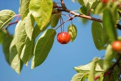 Яблоко рака Стоковое Изображение