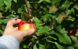 Яблоко рудоразборки руки стоковое фото