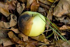 яблоко тухлое Стоковые Фотографии RF